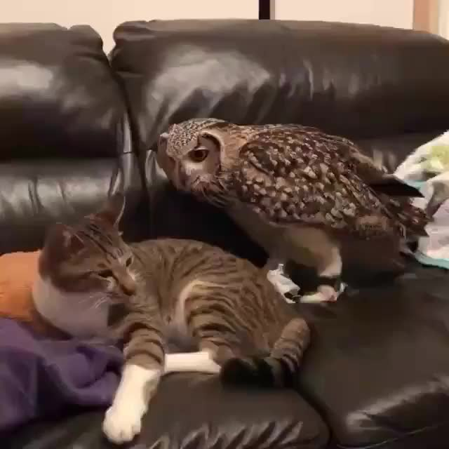 Watch this cat GIF on Gfycat. Discover more cat, cats, funny, owl GIFs on Gfycat
