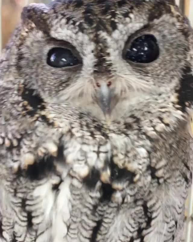 Watch and share Zeus The Blind Owl GIFs by mayaxs on Gfycat