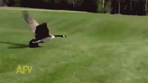Watch and share Blogs The Loop Golf Course Goose Attack GIFs on Gfycat