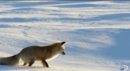 Eyebleach, eyebleach, gifs, This fox thinks that the blanket is snow and diving down behind the mouse (reddit) GIFs