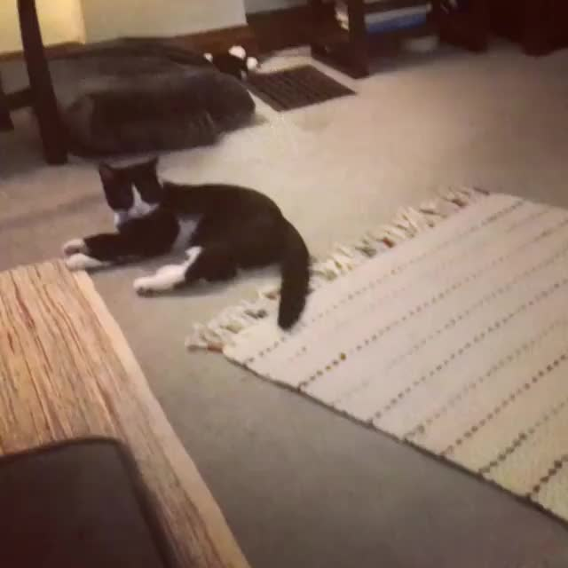 Watch /r/CatsBeingCats - video by sinatrafebo GIF by @cakejerry on Gfycat. Discover more CatsBeingCats, aww, cat, cute, funny GIFs on Gfycat