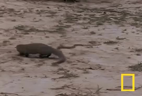 Watch and share Mongoose VS Cobra. GIFs on Gfycat