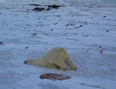 Watch this polar bear GIF on Gfycat. Discover more funny GIFs on Gfycat