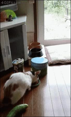 Watch and share Cucumber GIFs and Cat GIFs by Yudha Jr.  on Gfycat
