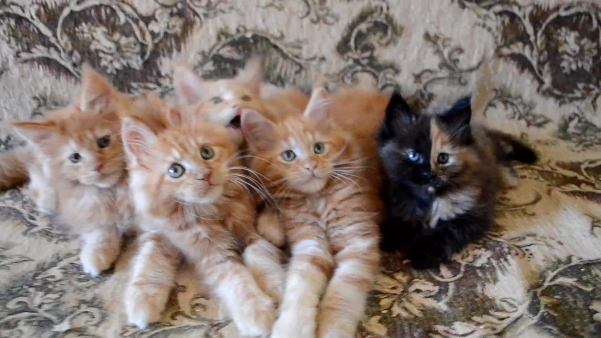 cat, cutekittens, kittens, kitty, Cute kittens GIFs