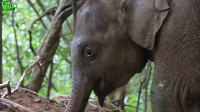 Watch This cute baby elephant has his first jungle experience after being saved GIF by PM_ME_STEAM_K3YS (@pmmesteamk3ys) on Gfycat. Discover more THE WILD ELEPHANT, elefanten videos, elephant save human, elephas maximus, huge elephant rescue, lephant rescue video youtube, quite baby elephant funny kids videos, sri lankan elephants, sri lankan wild videos, the wild elephant youtube channel GIFs on Gfycat