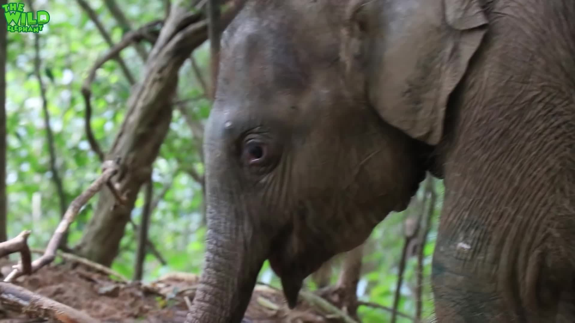 THE WILD ELEPHANT, elefanten videos, elephant save human, elephas maximus, huge elephant rescue, lephant rescue video youtube, quite baby elephant funny kids videos, sri lankan elephants, sri lankan wild videos, the wild elephant youtube channel, This cute baby elephant has his first jungle experience after being saved GIFs