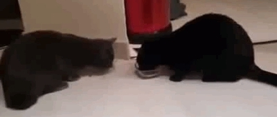 cat, funny, gif, food sharing GIFs