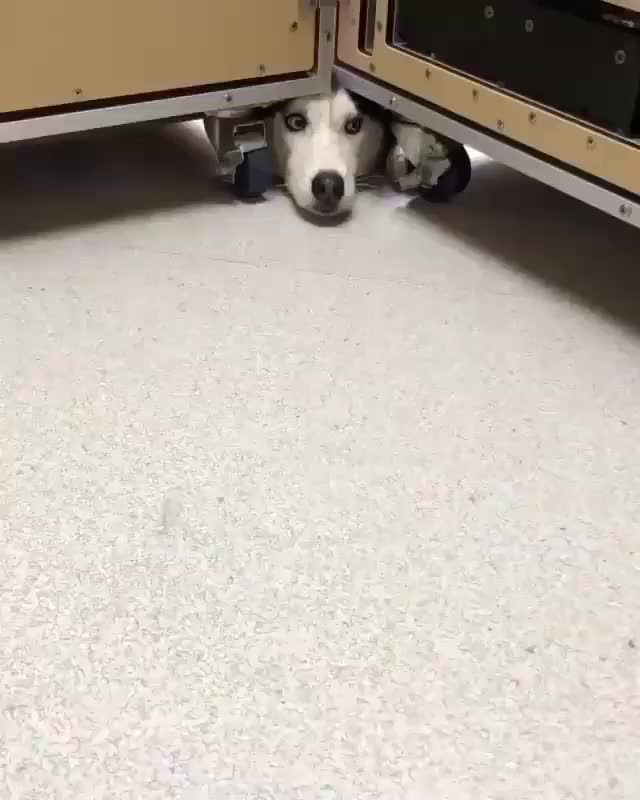 Watch and share Desk Pupper Just Stopping By GIFs by tothetenthpower on Gfycat