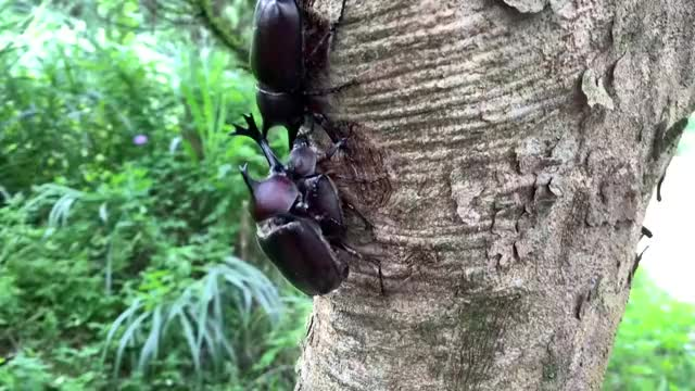 Watch and share Japanese Rhinoceros Beetle GIFs by likkaon on Gfycat