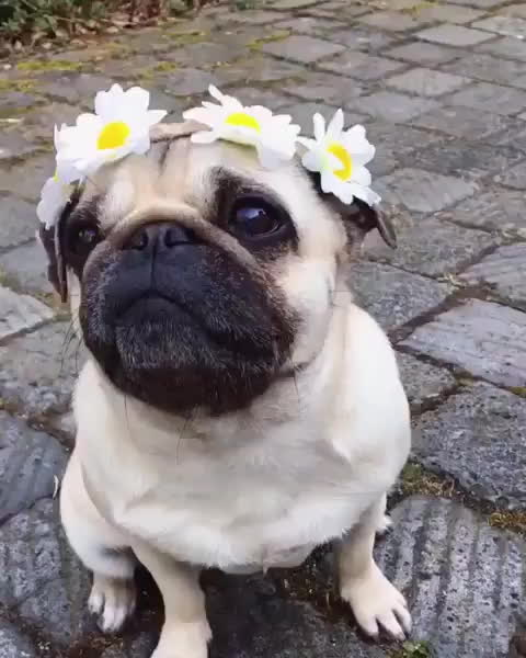 aww, cute, pug, Video by cutepetclub GIFs