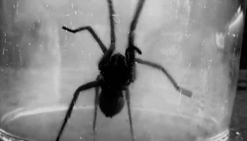 spiders GIFs