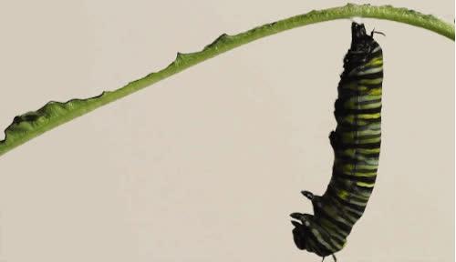 caterpillar, Caterpillar making a cocoon GIFs