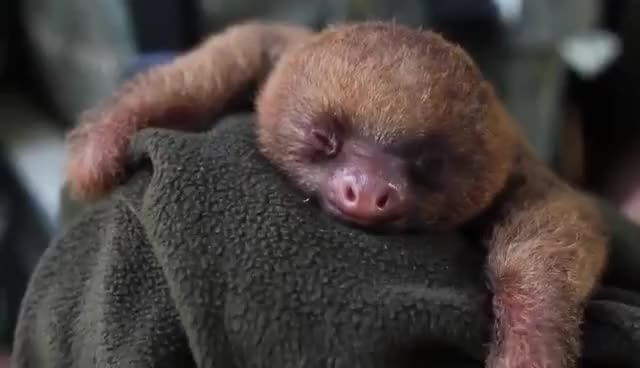 Watch and share Adorable GIFs and Sloth GIFs on Gfycat
