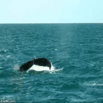 Watch and share Humpback GIFs on Gfycat