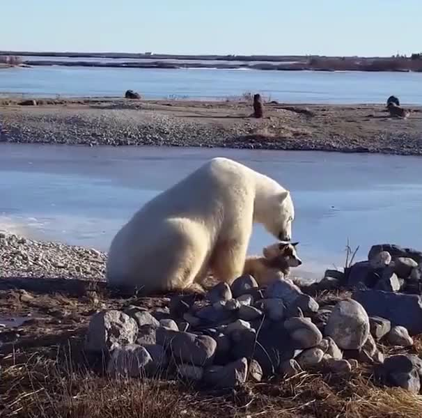 Watch and share Polar Bear GIFs by Richard Rabbat on Gfycat