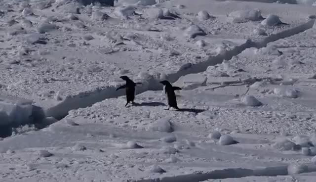 Watch and share Penguins Hopping GIFs on Gfycat
