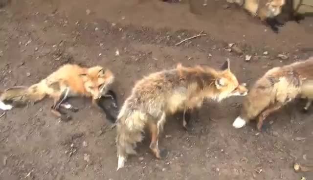 Fox Village, Japan: Cutest Place on Earth GIFs