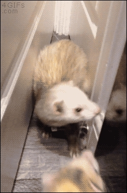funny ferrets GIFs