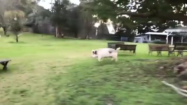 Watch and share Bubbles Chasing Quad Bike At Where Pigs Fly Farm Sanctuary GIFs by lnfinity on Gfycat