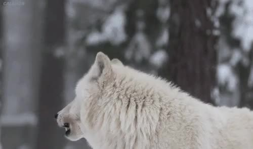 Watch this wolf GIF on Gfycat. Discover more White Wolf, animals, beautiful, dream, love, love dream, love nature, love white wolf, love wolf, nature, white, wolf GIFs on Gfycat