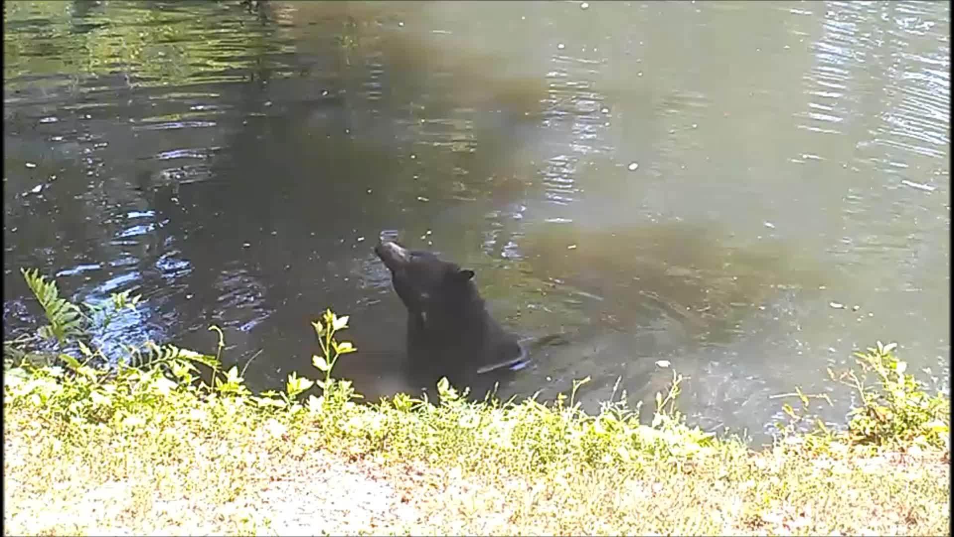 hardcoreaww, likeus, Black bear cooling off in the water (reddit) GIFs