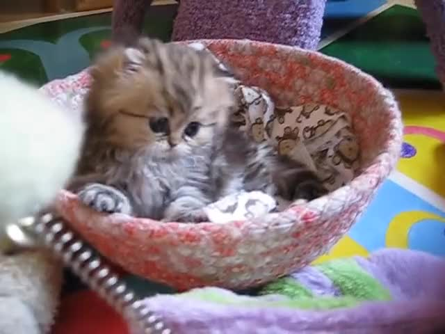 Watch and share Persian Kittens GIFs and Pedigree Cats GIFs on Gfycat