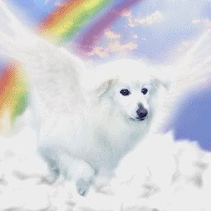 Watch and share Picture Of Griffen - Fur Angel (TGAN, LA), A Male American Eskimo Dog GIFs on Gfycat