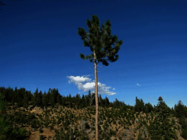 Watch and share Pine Trees GIFs by davdub on Gfycat