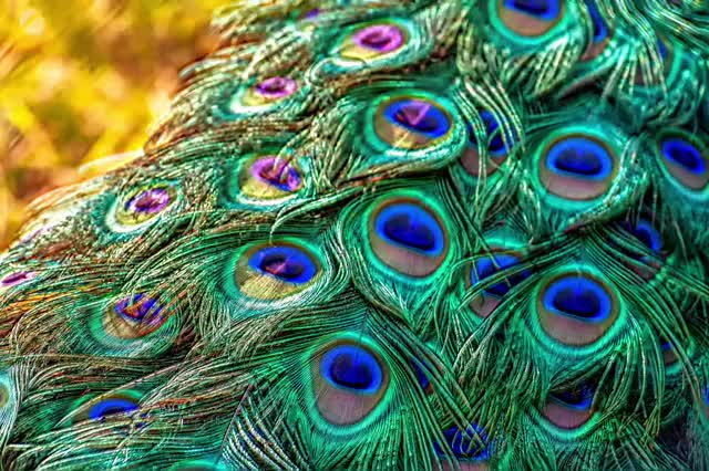 Watch and share Peacock GIFs by Symmetric Vision on Gfycat