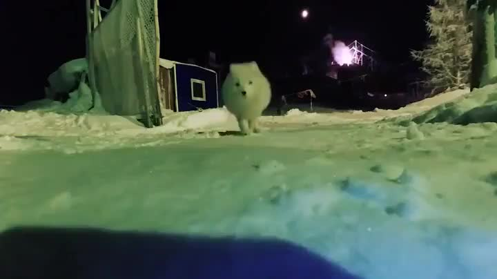Arctic fox stealing a wildlife camera GIFs