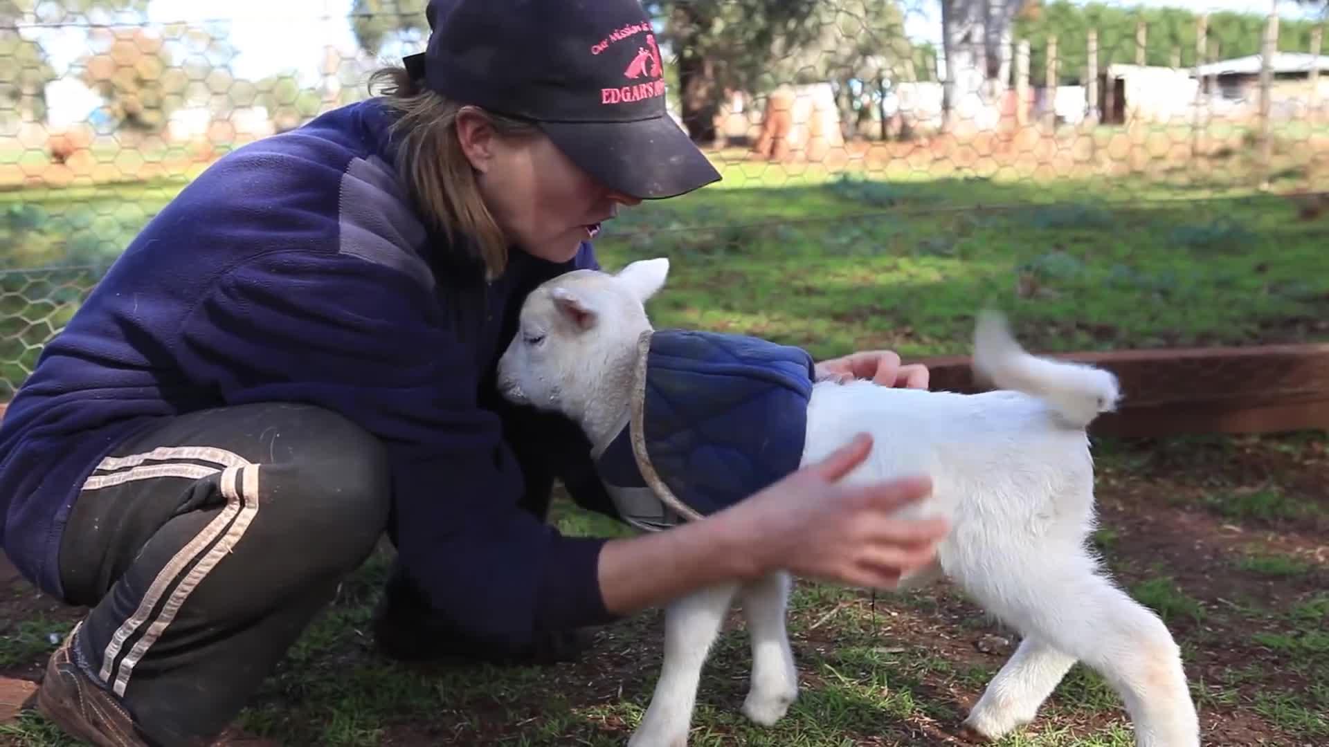 cute, edgarsmission, farm sanctuary, funny, lamb, laugh, rescue, rescued animals, sheep, tickels, Lamb Lamb Style GIFs