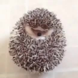 Watch and share Hedgehog GIFs on Gfycat
