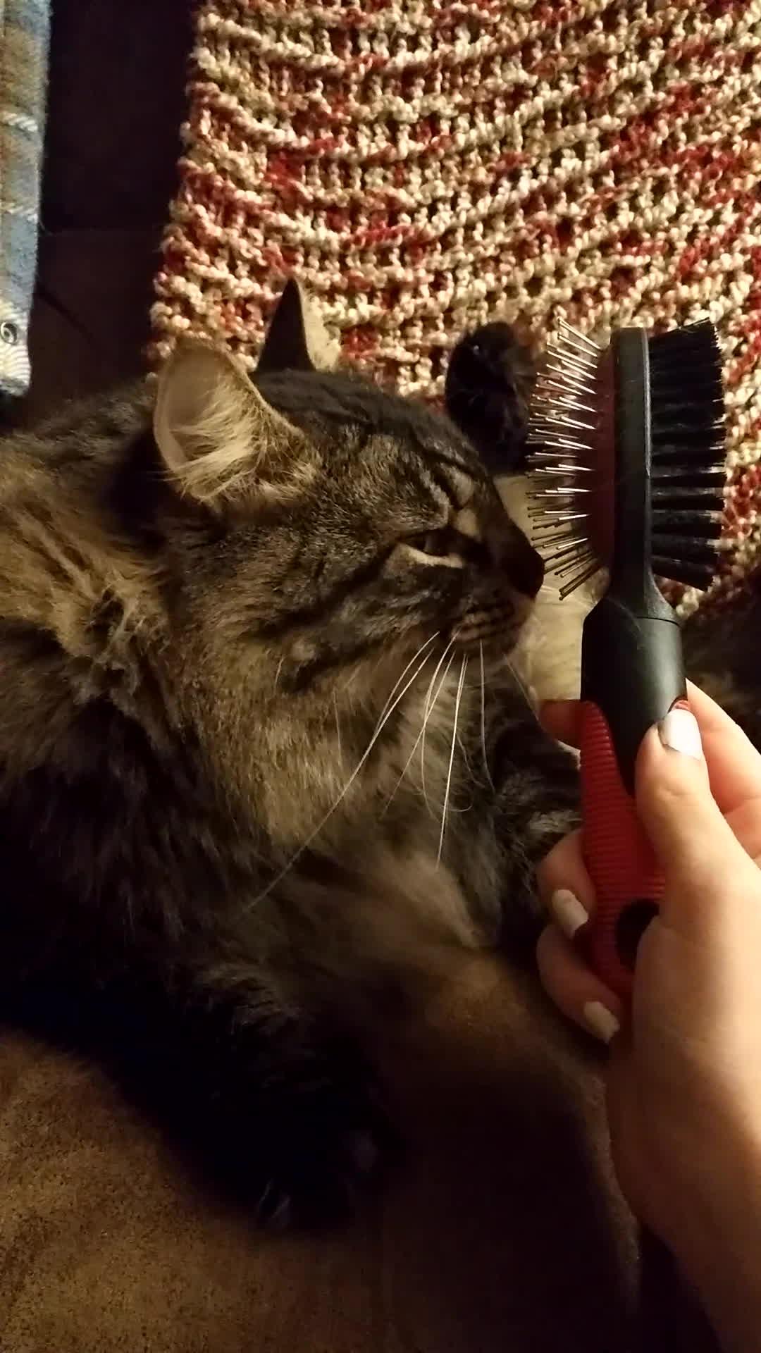 brushy, brushybrushy, cats,  GIFs