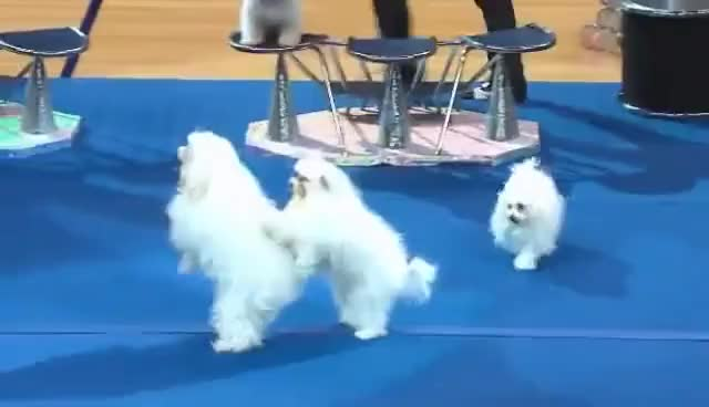 Watch conga dog GIF on Gfycat. Discover more cha cha, conga, dance, dog GIFs on Gfycat
