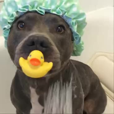 Staffy in the shower GIFs