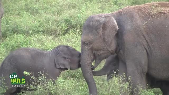 Watch Play time of baby elephants ! GIF by PM_ME_STEAM_K3YS (@pmmesteamk3ys) on Gfycat. Discover more elefanti dello Sri Lanka, save elephants, sri lankan elephants, srilankische Elefanten, éléphants du Sri Lanka, श्रीलंकाई हाथियों, අලියා, ශ්රී ලංකාවේ අලි, ශ්රී ලංකාවේ අලි ඇතුන්, スリランカのゾウ GIFs on Gfycat