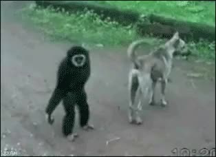 Watch annoying GIF by coswell on Gfycat. Discover more annoying, fun, monkey, nature GIFs on Gfycat