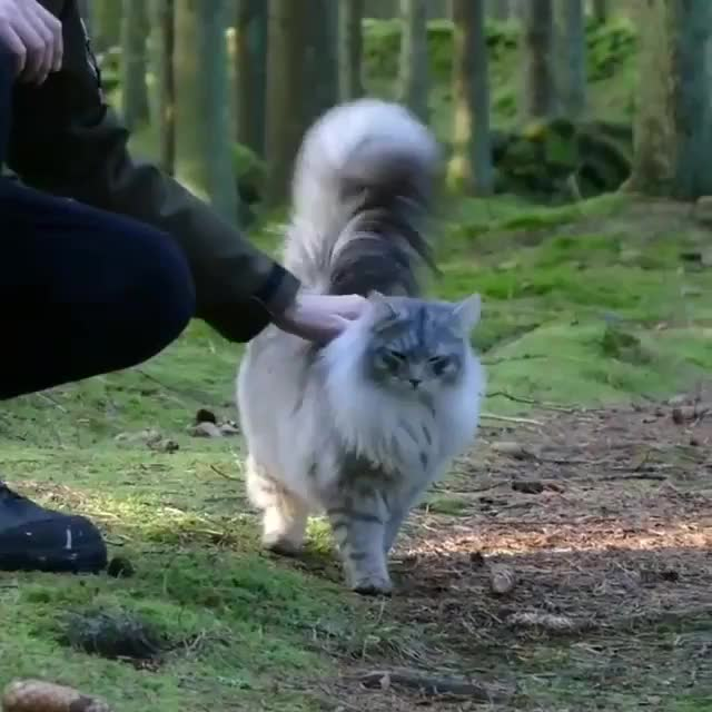 Watch and share Behold Flora, Queen Of All Floofy-tailed Kitties! GIFs on Gfycat