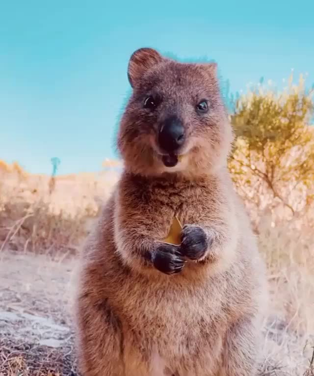 Watch and share Eating GIFs and Quokka GIFs by The Falcon on Gfycat