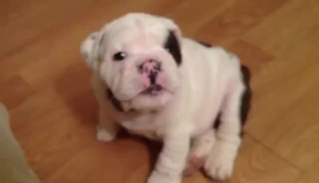 Watch bentley GIF on Gfycat. Discover more cute, puppy GIFs on Gfycat