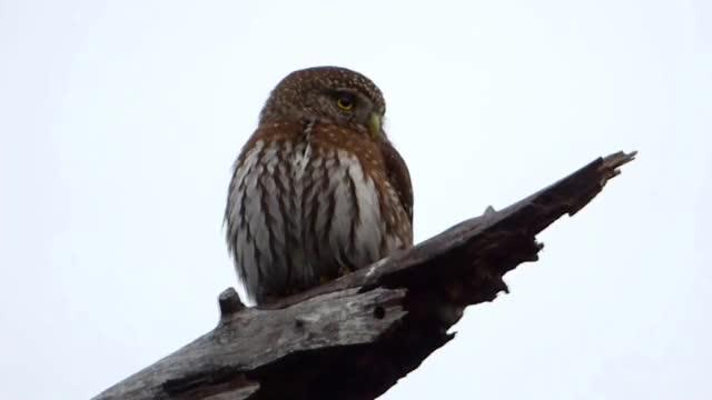 Watch and share Northern Pygmy-Owl (Glaucidium Gnoma) - Stealth Mode GIFs by likkaon on Gfycat
