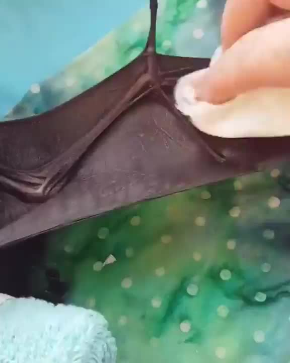 Caretaker demonstrating how to properly clean your baby bat GIFs