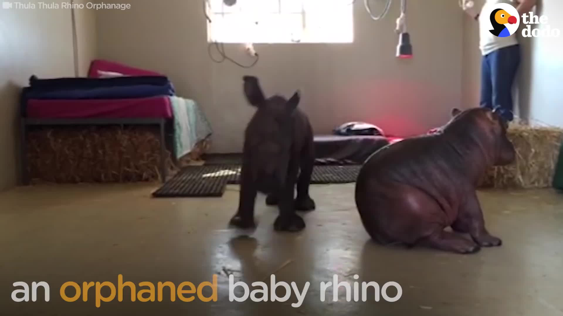 animal video, animals, the dodo, Baby Hippo Who Lost His Family Makes His First Friend GIFs