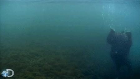 Watch and share Kodiak Bear GIFs on Gfycat
