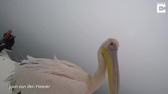 Watch Naughty Pelican Bites Photographer During Selfie GIF by bobsagetsbaguettes on Gfycat. Discover more almost, animal, bird, bite, bitten, catersnewsagency, caterstv, clips, curious, eat, eatten, guy, nature, naughty, pelican, photographer, selfie, viral, wild, wildlife GIFs on Gfycat