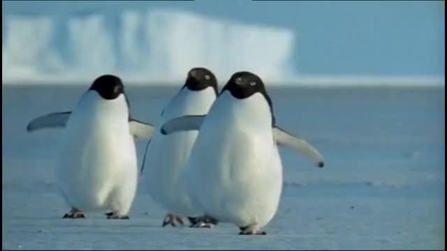 Watch Penguins of the Antarctic - Nature Documentary GIF on Gfycat. Discover more antarctic, antarctica, arctic, emperor, penguin, penguins, polar, sperm, whale, whales GIFs on Gfycat