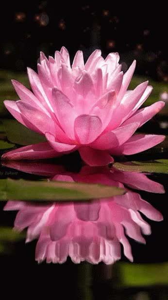 Watch and share Animated Water Lily Pink Flowers Animated Gif Blossom Bloom Pond Water Lily GIFs on Gfycat