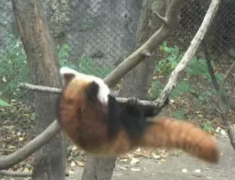Erie Zoo, baby, cute, erie zoo, funny, red panda, Red Panda Stunt GIFs