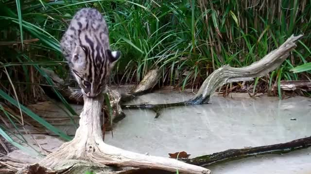 Watch and share Fishing Cat GIFs on Gfycat